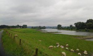 schapen langs de IJssel