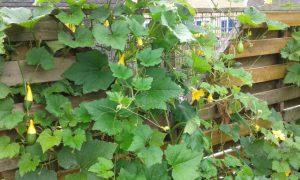 schutting ten prooi aan sier-kalebas-plant